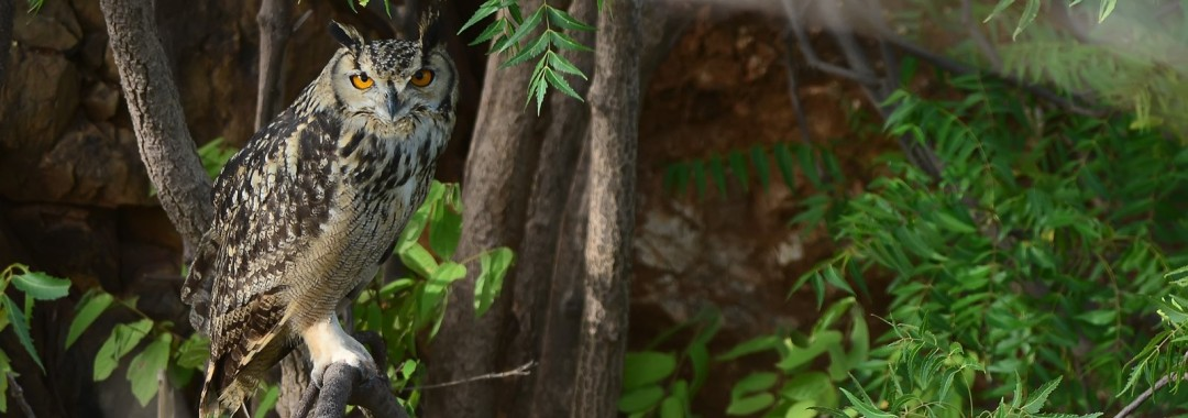 An Indian Eagle Owl making sure we were not up to any mischief