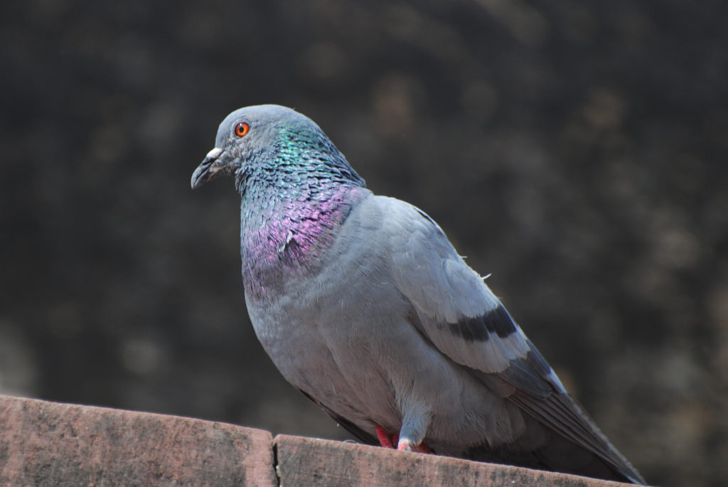 A file photo of a dastardly pigeon looking out for a balcony to attack